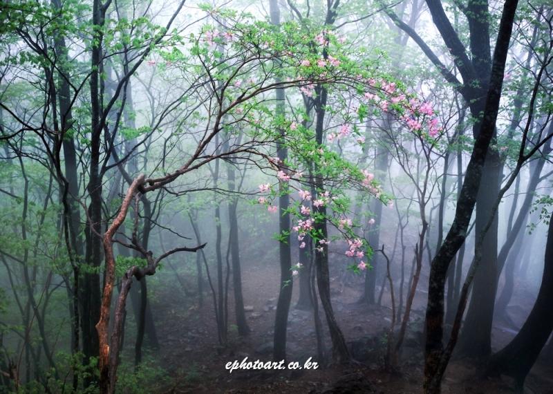 소백산 안개숲과 철쭉