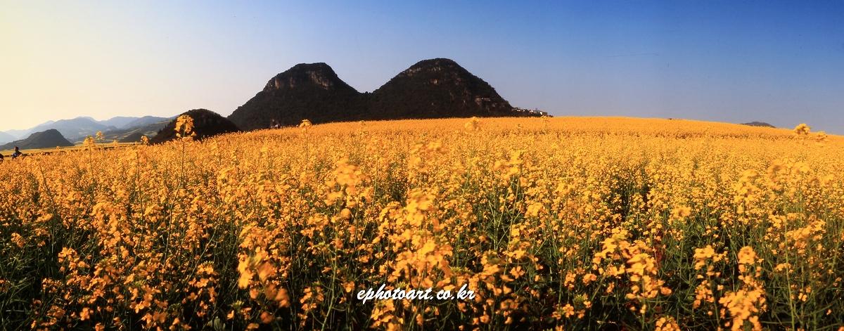 중국 라평 유채밭