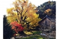 청도 작천사 은행나무