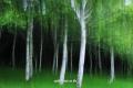 태백 삼수령 자작나무숲